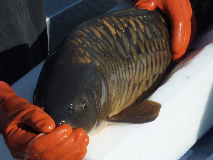 A transmitter is implanted in a carp caught and released in Lake Spokane in spring 2014 for a fisheries study conducted by Avista.  (Avista)