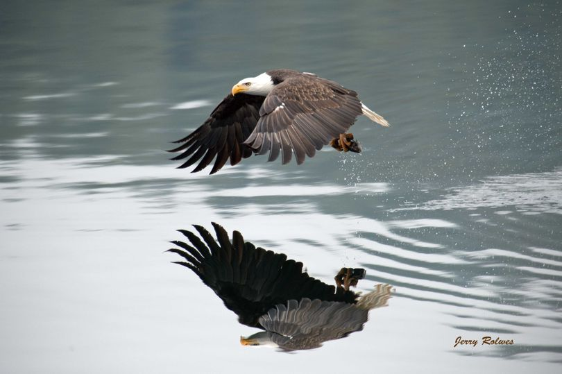 A bald eagle snatches a spawning kokanee from the Wolf Lodge Bay area of Lake Coeur d'Alene. (Jerry Rolwes)