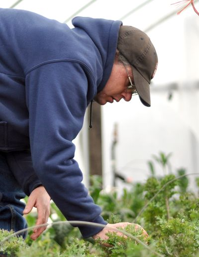 WSU organic farm manager Brad Jaeckel harvests a winter crop of kale Tuesday.