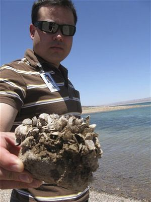 In this July 6, 2009 file photo, Andrew Munoz, of the Lake Mead National Recreation Area, holds up a rock covered with the invasive quagga mussels at Lake Mead National Recreation Area, Nev. A regional power planning group from Idaho, Oregon, Washington and Montana is pursuing $2 million from the federal government to help fend off the menace of invasive mussels that have clogged Colorado River reservoirs since 2007. These states and others say they're frustrated by the number of boats that continue to come from Lake Mead in Nevada and Arizona over their borders infested with quagga and zebra mussels. (AP / Felicia Fonseca)