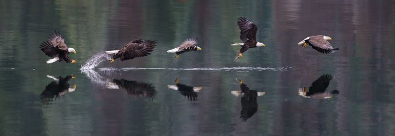A multi-exposure image by Spokane pastor-photographer Craig Goodwin illustrates the sequence of a bald eagle snatching a spawning kokanee this week from the waters of Lake Coeur d'Alene. (Craig Goodwin)