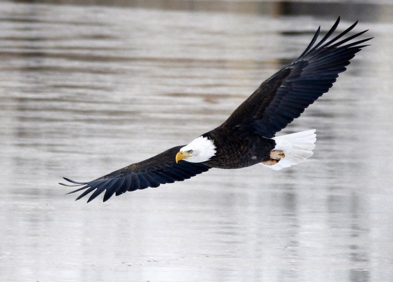 Bald eagles are gathering at Lake Coeur d'Alene to feast on spawning kokanee