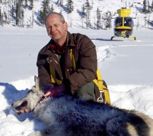 Wolf specialist Ed Bangs, pictured collaring a gray wolf, says the species has fully recovered in the Northern Rocky Mountain states.  (File Associated Press / The Spokesman-Review)