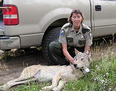 Fish and Wildlife enforcement Officer Pam Taylor steadies the sedated wolf. Courtesy of Department of Fish and Wildlife (Courtesy of Department of Fish and Wildlife / The Spokesman-Review)