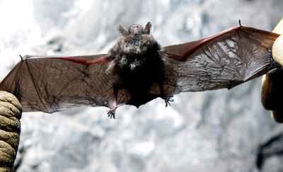 Scott Crocoll holds a dead Indiana bat in an abandoned mine in Rosendale, N.Y., in January. The U.S. Forest Service is preparing to close thousands of caves and former mines in the eastern U.S.  (File Associated Press / The Spokesman-Review)