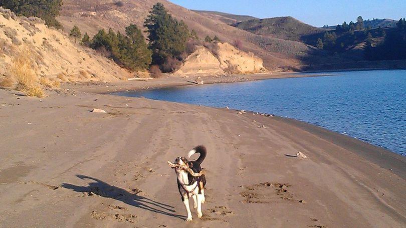 A dog romps on the Hawk Creek arm shoreline of the Lake Roosevelt National Recreation Area.    (Karen Jurasin)
