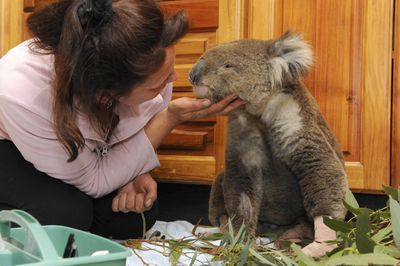 Wildlife caretaker Colleen Wood examines Bob the koala, saved from the fires in Gippsland, at the Mountain Ash Wildlife Centre in Rawson southeast of Melbourne, Australia, on Wednesday.  (Associated Press / The Spokesman-Review)