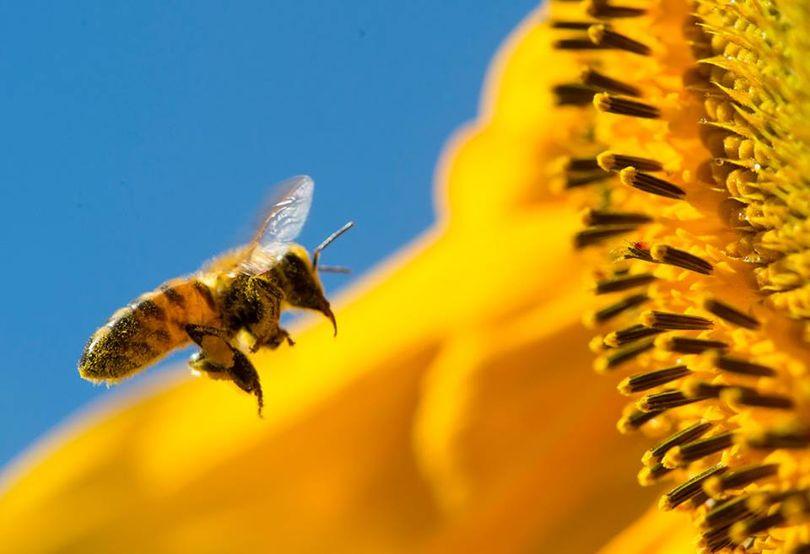 (Buzzing Honeybee)
