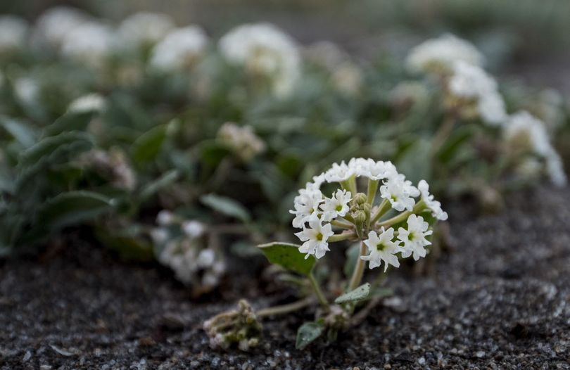 Sand verbena, the rarest species in Yellowstone National Park grows in a secluded and secret place only known by Heidi Anderson, director of the Yellowstone National Park Herbarium in the Heritage and Research Center and a few botanists seeking to save the plant in Gardiner, Mont.  (Mark Davis / The Powell Tribune via AP)