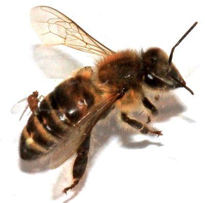 An Apocephalus borealis fly implants its eggs into the abdomen of a honeybee. Scientists suspect the A. borealis fly is contributing to the honeybee decrease. (Associated Press)