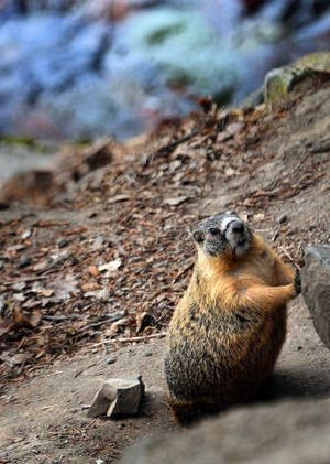A marmot takes a break – from mayhem, perhaps? – in Riverfront Park.   (Rajah Bose / The Spokesman-Review)