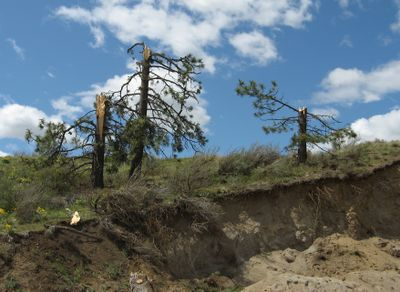 Trees in northern Lincoln County were snapped in a storm last Wednesday that the National Weather Service now says was a tornado. This photo was taken about nine miles north of Davenport in the vicinity of Teel Hill Road along a ridge above the Spokane River canyon. Photo courtesy of Kerry Jones, National Weather Service (Photo courtesy of Kerry Jones, National Weather Service / The Spokesman-Review)