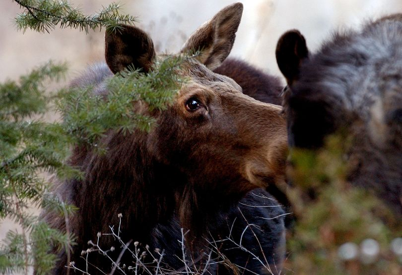Moose have become fairly common sights roaming the fringes of North Idaho or Spokane-area communities. Local agencies say they regularly get complaints about moose munching and messing gardens and landscaping, but usually it's best to leave the big creatures be.  (File)