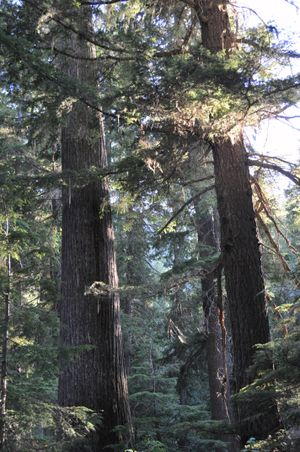 Roosevelt Grove of Ancient Cedars near Stagger Inn Campground northwest of Priest Lake. (Rich Landers)