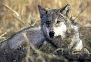 Idaho officials are working on plans to control gray wolves.   (Associated Press / The Spokesman-Review)