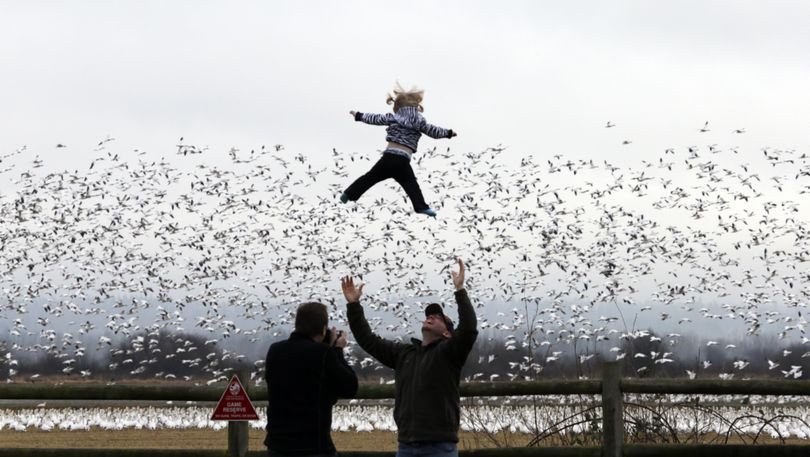Winter home: Cody Mooney, visiting from Loveland, Colo., tosses his 17-month-old daughter Willow in the air as snow geese take flight behind them Thursday in the Skagit Valley near La Conner, Wash. Bird watchers took advantage of a day without rain Thursday to gaze at some of the tens of thousands of snow geese that spend the winter near the mouth of the Skagit River. The geese migrate from their mating grounds in Alaska and Siberia in late November to spend the winter in wetlands and farm fields of northwest Washington. (Associated Press)