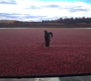A worker from Wisconsin's Elm Lake Cranberry Company harvests ripe berries in November, 2014 (Cheryl-Anne Millsap / photo by Cheryl-Anne Millsap)