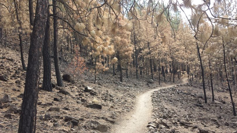 A trail on Spokane's South Hill bluff runs through an dog-hair timber area that burned in a 2014 fire. (Rich Landers)