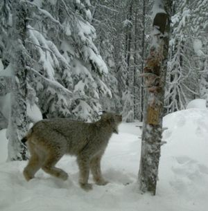 A Canada lynx visits a bait station set up by Idaho Fish and Game Department researchers monitoring wolverines in North Idaho. (Friends of the Scotchman Peaks Wilderness)