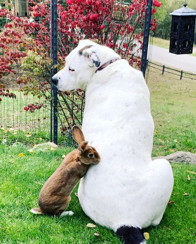 Copper the bunny hangs out with Tucker the pit bull at their home in Sandpoint. (Courtesy of Robby Meyer)