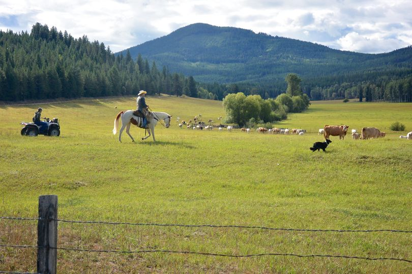 Ranchers, range-riders and a herding dog round-up cows on a grazing allotment within the territory of the Smackout Wolf Pack.   (Chase Gunnell / Conservation Northwest)