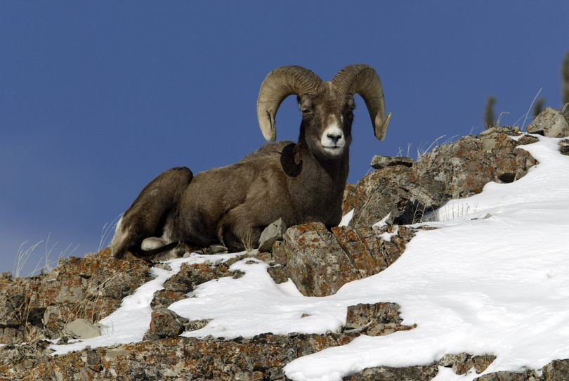 A bighorn sheep ram sits on a ridge above Soda Butte Creek in Yellowstone National Park. (Associated Press photos / The Spokesman-Review)