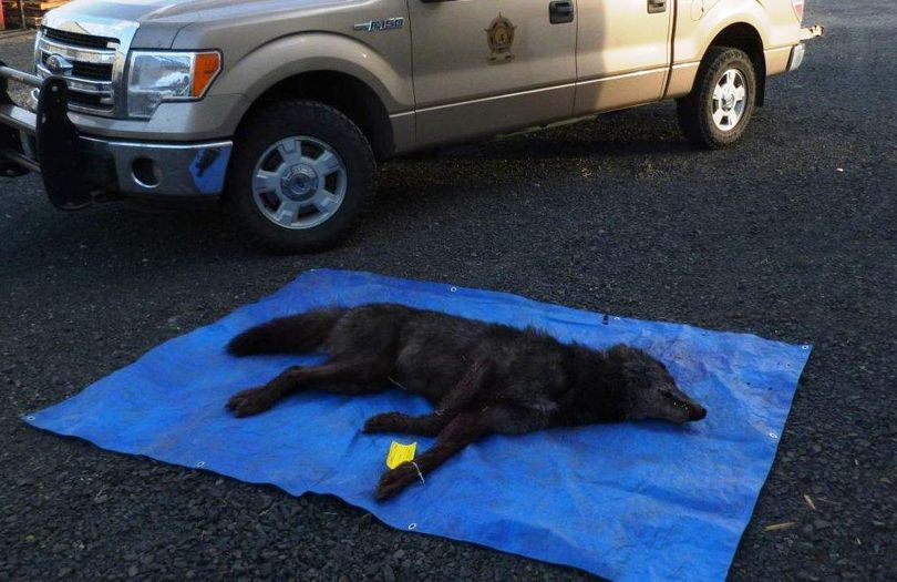 The case of a wolf shot and killed by a man in Whitman County on Oct. 12, 2014, was investigated by Washington Fish and Wildlife police. (Washington Department of Fish and Wildlife)