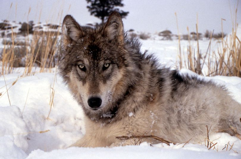 This image provided by the National Park Service shows a gray wolf in the wild. (National Park Service)