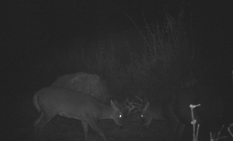 Whitetail bucks sparring in image from remote motion-activated trail cam. (Chris van Kempen)