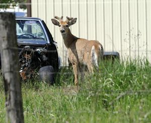 A buck looks over the fence Friday at a half-acre in Dalton Gardens where a community-supported agriculture project is taking shape. The abundance of deer is a hazard of gardening in North Idaho. (Jesse Tinsley/SR file photo)