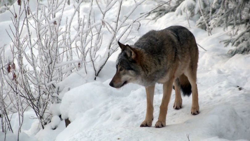 In this image made from video taken on Monday, Dec. 14, 2015, a wolf walks through the snow at a wolf enclosure in Ranua Wildlife Park in Ranua, Finland. Finnish authorities say a second, government-sanctioned trial wolf hunt is set to begin in 2016 in an attempt to manage numbers and curb poaching.  (Associated Press)