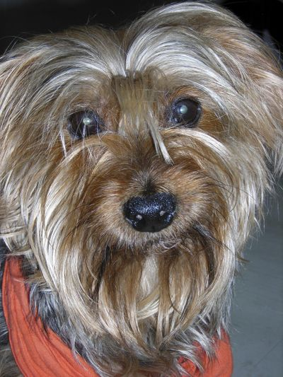 """This undated photo provided by Festival Ballet Providence shows Archie, a Yorkshire Terrier who has performed in more than 125 performances of """"The Nutcracker."""" Festival Ballet Providence has announced that its beloved 19-year-old Nutcracker dog is retiring from the stage. The company plans auditions for the next Nutcracker dog on Dec. 2, 2018, at their studios on Hope Street, in Providence, R.I. (AP)"""