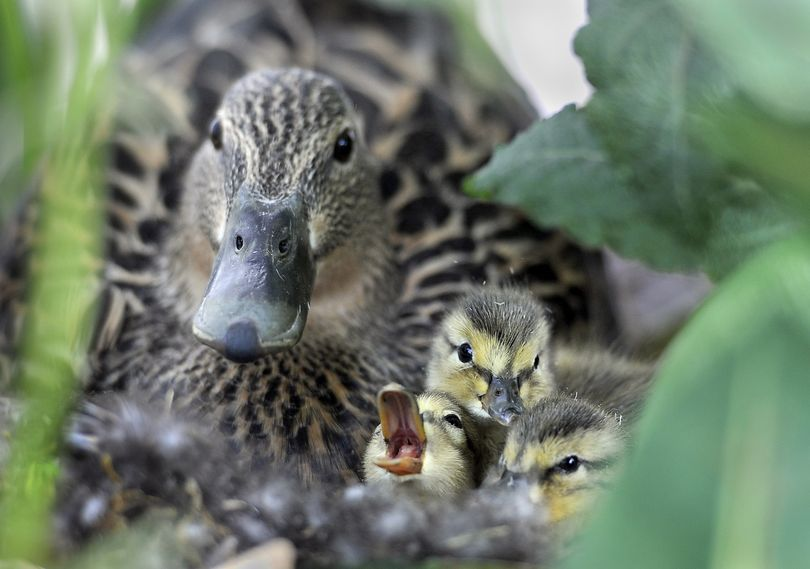 After mama duck's nest was raided in mid-April, she came back to a planter at the Lincoln Building in downtown, Spokane, Wa., and laid three more eggs. Today, May 14, 2010, all five of her ducklings were born. Gary Grissom (Academy Mortgage loan officer), the new duckman, has been watching over mama duck from his office window for the last month while she's been sitting on her nest. He's been fascinated by the duck's behavior as well as the humans who came to visit her. She had regular visitors. One woman came by every day to feed her half a piece of brown bread. The sparrows would swoop in and steal the bread most of the time; she only ate three little pieces. Another woman would bring the duck water, which she never drank.  Five people named the mama duck, Grissom said. He didn't write down the names, but he thinks one man named her Francine. (Dan Pelle / The Spokesman-Review)