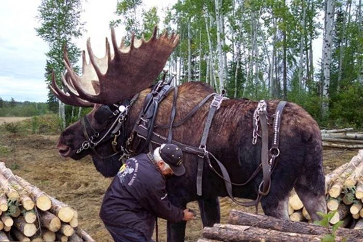 Moose Doubles As Minnesota Clydesdale The Spokesman Review