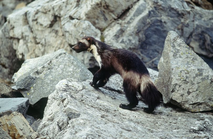 A wolverine is seen in Glacier National Park. The wolverine will not be gaining threatened-species status. (Associated Press)