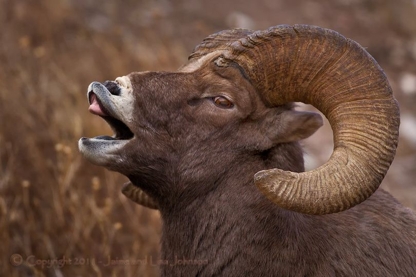 A bighorn sheep ram curls its lips to collect more sensory information as it seeks receptive ewes during the late November-December breeding season in Montana. (Jaime Johnson)