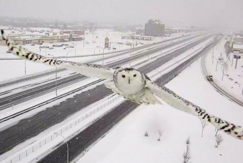 A snowy owl image is captured on Jan. 3, 2016, by a traffic web cam overlooking Highway 40 in Montreal. (Transport Quebec)