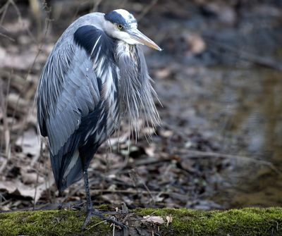 A heron stands patiently while watching for a meal at the Sugar Hollow Wetlands on Friday, Jan. 10, 2020, in Bristol, Va. The water level in the wetlands was low on Friday, but will probably rise with the predicted rain and storms for the weekend. (David Crigger / Associated Press)