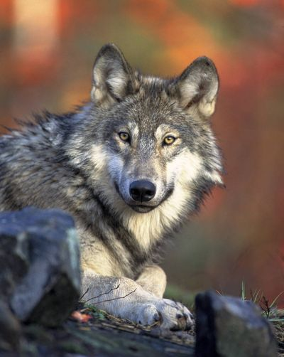 This April 2008 photo shows a gray wolf. (Associated Press)