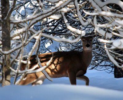 Antlerless deer and elk hunts are cut back this season. (Rich Landers / The Spokesman-Review)