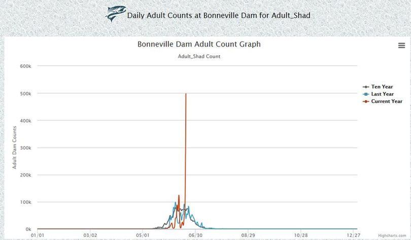 Shad posted a dramatic spike in numbers running over Bonneville Dam on June 19, 2017. (Fish Passage Center)