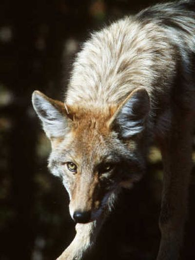 Don't run from a coyote, experts say. Remember your place on the food chain, and shout or chase the animal.  (Rich Landers / The Spokesman-Review)