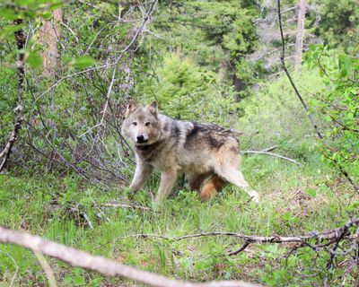 A member of the Teanaway wolf pack is pictured here on May 12, 2019. (The Washington Department of Fis / COURTESY)