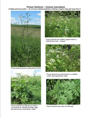 Poison hemlock (Conium maculatum) has white flowers in a delicate umbel (flat-toped flower stalk) and lacy fern-like leaves. (WSU Extension)