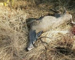 An aggressive mule deer buck was shot after goring two volunteers helping with the Half Ass Half Marathon north of Davenport on Oct. 14, 2017/ (Washington Department of Fish and Wildlife)