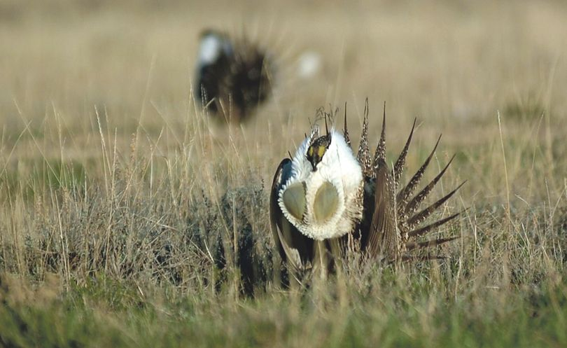 A male sage grouse inflates air sacs in his chest while performing a mating display. (Aubrey Wieber Idaho Falls Post Register)