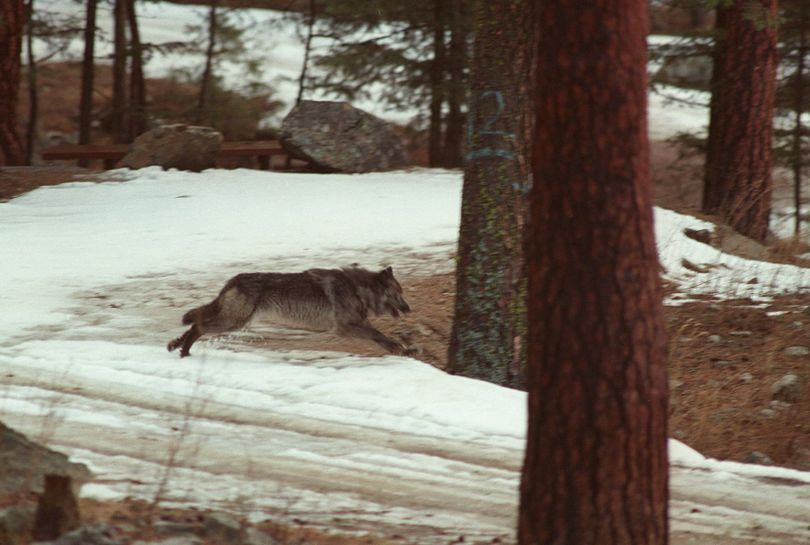 In this Jan. 14, 1995, file photo, a wolf leaps across a road into the wilds of Central Idaho. Idaho officials are challenging a federal court order to destroy information collected from tracking collars placed on elk and wolves obtained illegally by landing a helicopter in a central Idaho wilderness area. The Idaho Department of Fish and Game on Tuesday, Dec. 5, 2017, requested a stay of the judgment in U.S. District Court in Idaho pending an appeal to the 9th U.S. Circuit Court of Appeals. (AP/File / Douglas Pizac)