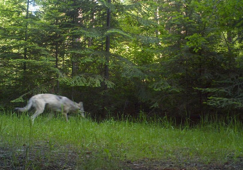 This Smackout Pack gray wolf image was snapped in northeastern Washington by a Washington Department of Fish and Wildlife motion-triggered research camera in June 2011. (COURTESY PHOTO / Courtesy)