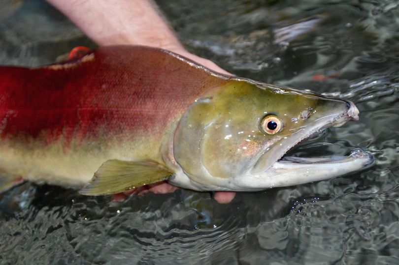 A Snake River sockeye is handled for spawning at the Eagle Fish Hatchery in Idaho. The 2015 sockeye returns were lowest since 2007, but Fish and Game managers say they're on track to produce a record number of young fish to release for migration in 2017. (Roger Phillips / Idaho Department of Fish and Game)
