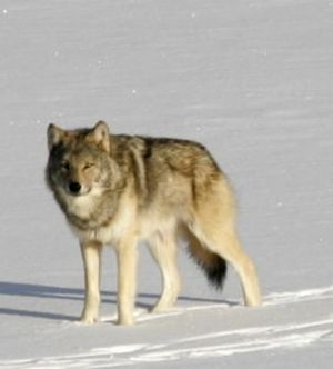 Gray wolves killed 50 percent more domestic animals in Montana last year than they did in 2008. (Associated Press)